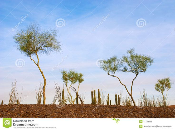Desert Garden Of Spindly Trees Royalty Free Stock Photo - Image ...