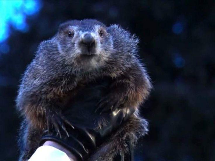 Brr! Encore six semaines d'hiver dit la marmotte
