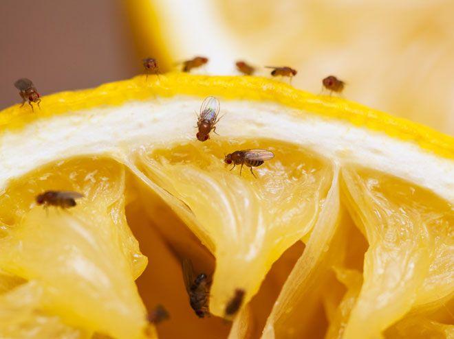 Die besten 25+ Gegen fruchtfliegen Ideen auf Pinterest - was hilft gegen ameisen in der k che