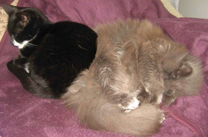 Norwegian forest cat and black cat
