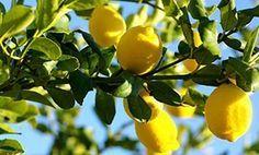Φύλλα λεμονιού, το βάλσαμο της ευαίσθητης περιοχής