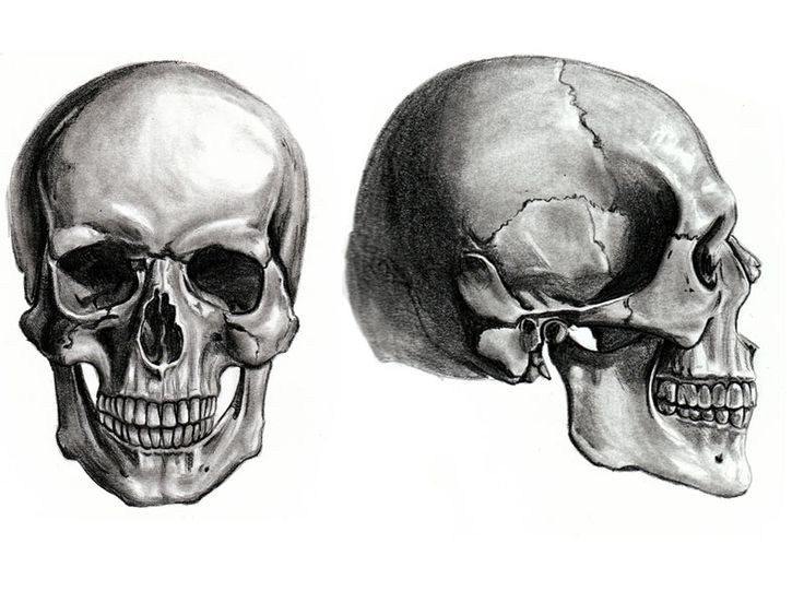Skull Anatomy Study Another Life Drawing Assignment