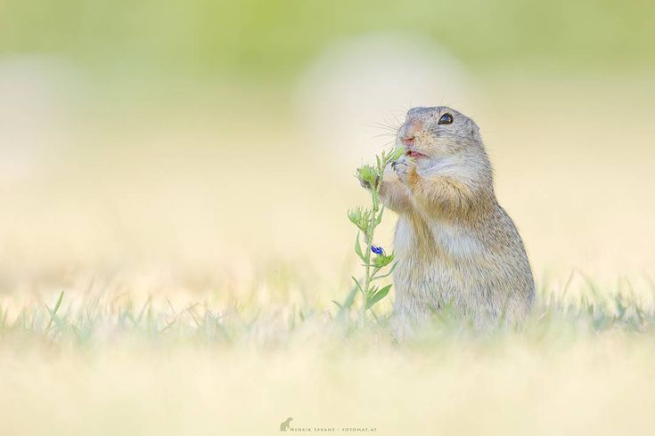 ~ Chubbiness ~ A wild living  European ground #squirrel almost chubby enough for hibernation 😊/#Austria Canon 5d Mkiii + Canon 400/2.8 L IS Bokeh *not* Photoshop made. >>please don't crop when featuring << http://facebook.com/fotomat #ziesel #canon_photos #explore_dof #naturelover #wildlifephotography #wildlife #groundsquirrel #squirrelstagram #mycanon #henrikspranz  #nuts_about_squirrels #heart_imprint #igcutest_animals #photoarena_nature #wildlifeanmls #bella_shots #animaladdicts…