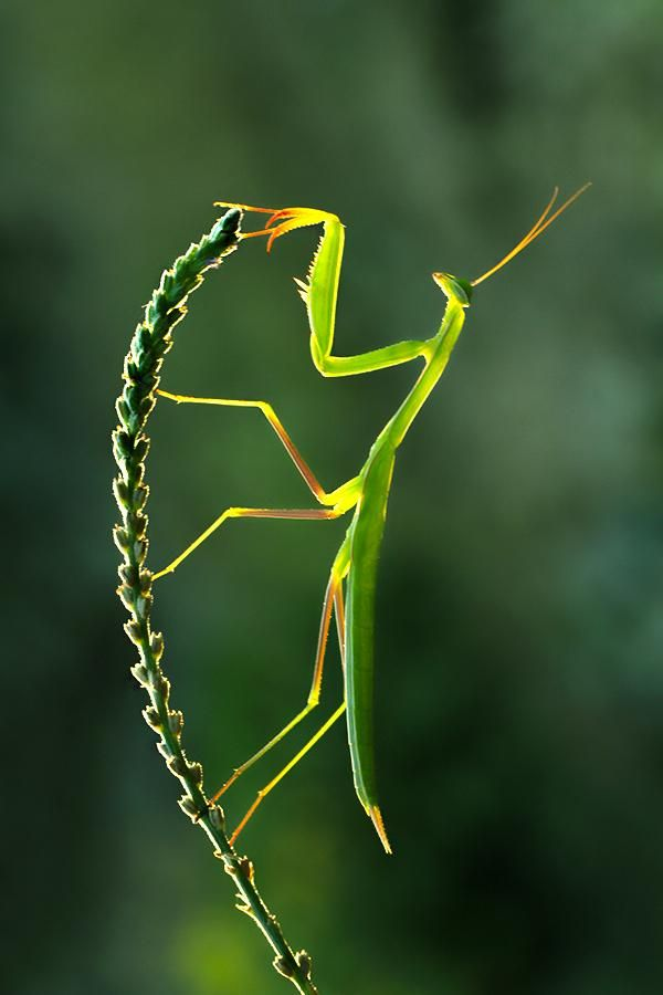 Mantis, in Africa, is another trickster. He noticed that Ostrich tucked fire under his wing and wanted it. He tricked Ostrich into eating off of a plum tree. He told him the best plums were at the top and when Ostrich reached up to eat them, Mantis stole the fire. This is why Ostrichs don't fly.