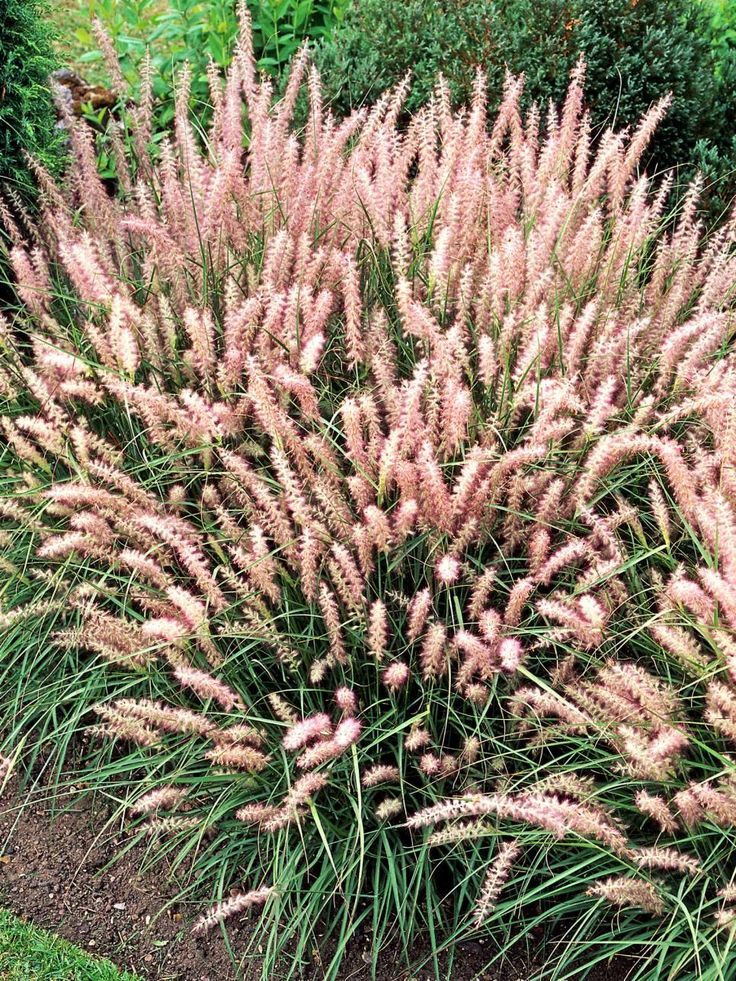 Types of ornamental grasses grasses gardens and plants for Tall grass with plumes