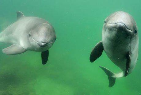 Oto morświn. Ten liczny do lat 30-tych XX wieku gatunek został wytrzebiony i obecnie jest skrajnie zagrożony wyginięciem. Szacuje się, że dziś w Morzu Bałtyckim żyje około 100 osobników. Jeżeli zobaczysz morświna wyrzuconego na brzeg, zadzwoń do Błękitnego Patrolu WWF - 795 536 009 lub do Stacji Morskiej IOUG w Helu - 601 88 99 40.
