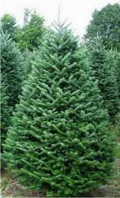 noble fir tree - Google Search