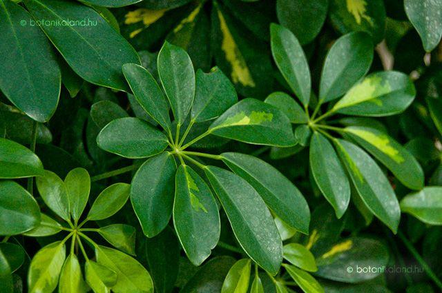 Tajvanon őshonos örökzöld fagyérzékeny cserje vagy kisebb fa, melyet erősen szeldelt, kézformájú leveleinek sokasága miatt angol nyelvterületen esernyőfaként is emlegetnek.