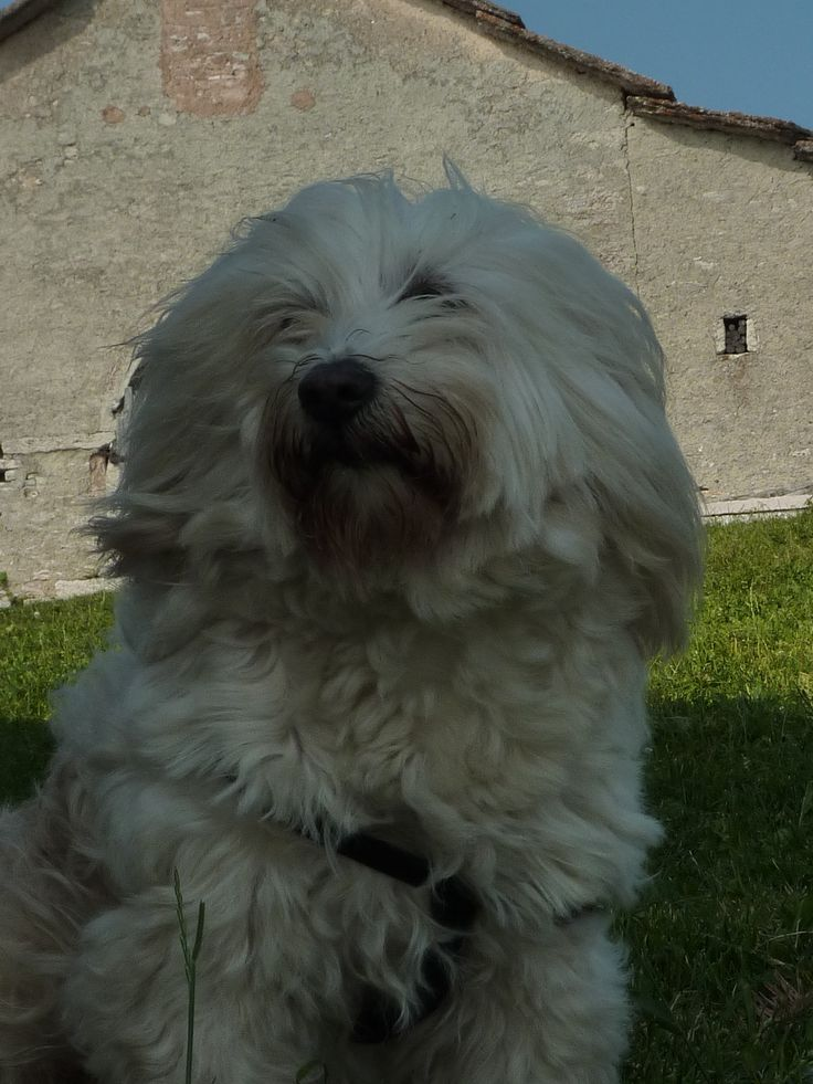 Benjamin n° One Tibetan Terrier!!!
