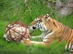 Ball made from willow branches stuffed with wool- could stick some food in there for other animals