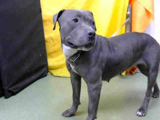 RESCUED✨❤️DEVORE, CA - EUTH LIST. Violet ID#A682205. 2yr. old female Pit Bull Terrier. Rescue only. Possible fear biter.