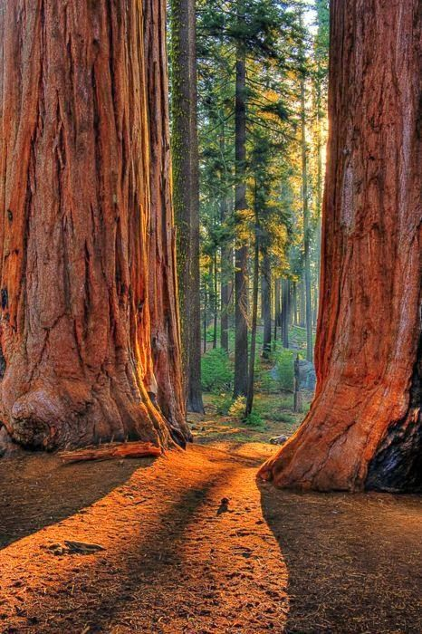 Giant Redwoods, California