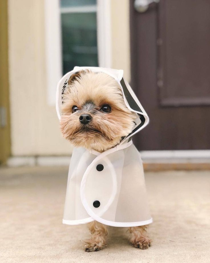 Yorkie In A Raincoat Dogsofpinterest Dogstreetstyle Stylishdogs