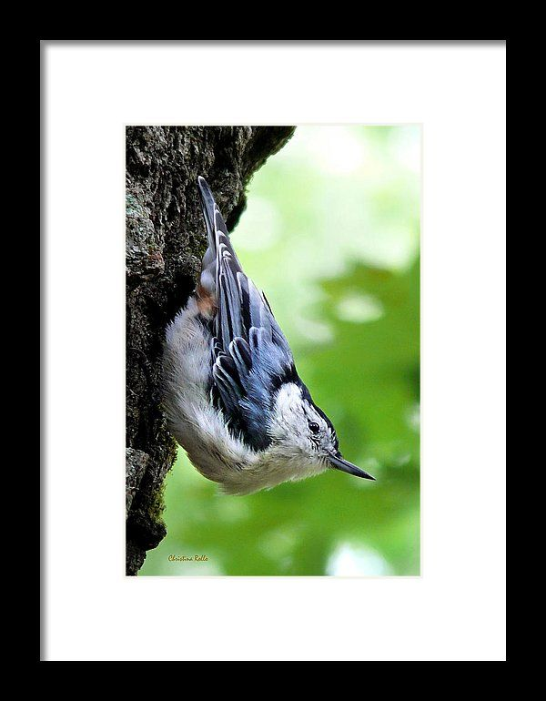 White Breasted Nuthatch Framed Print by Christina Rollo.  All framed prints are professionally printed, framed, assembled, and shipped within 3 - 4 business days and delivered ready-to-hang on your wall. Choose from multiple print sizes and hundreds of frame and mat options.