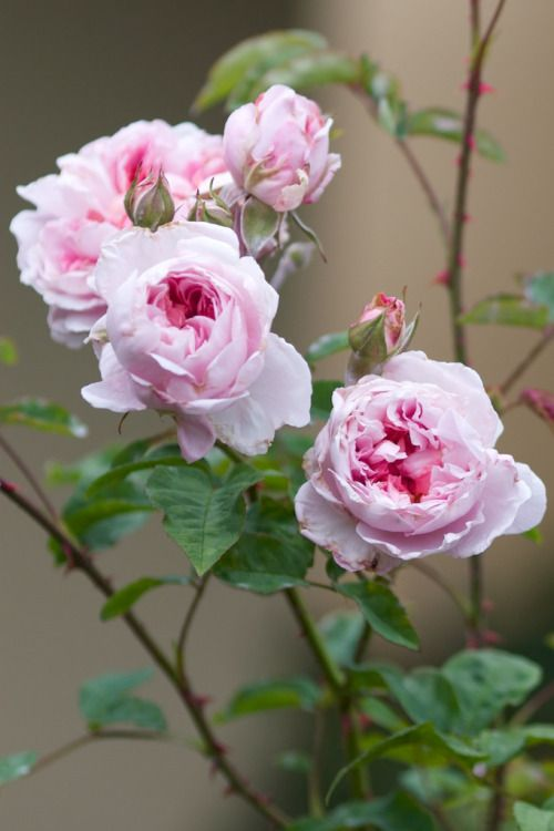 'The Cottage Rose'   Shrub. English Rose Collection. Bred by David C. H. Austin (United Kingdom, before 1991)   © robertmealing