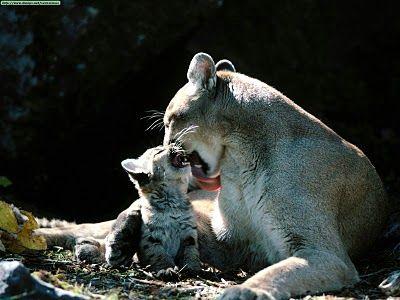 Onça parda e seu filhote