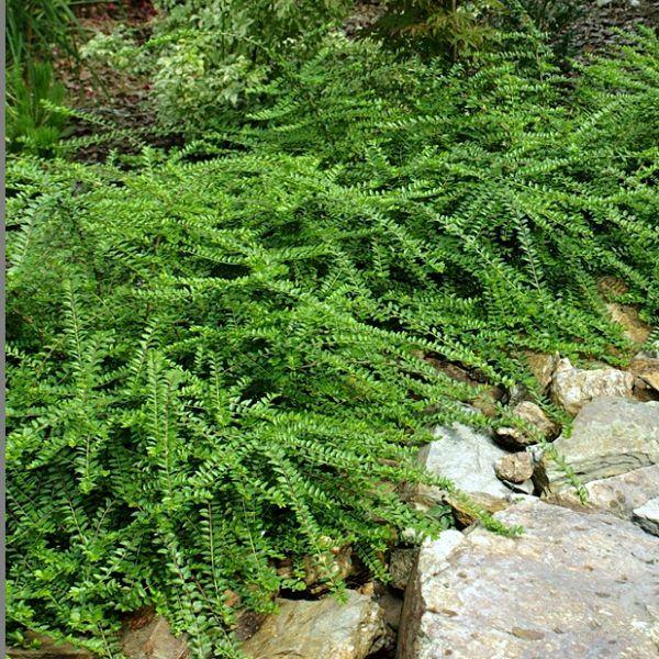 Lonicera Pileata Moss Green.jpg (600×600)