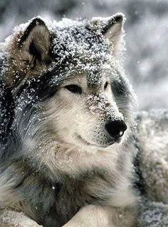 Ice~female~pack wolf~caring, snappy, critical, softness for pups, loving~mate:Killan~pups:Bounce, Dew, and Spirit