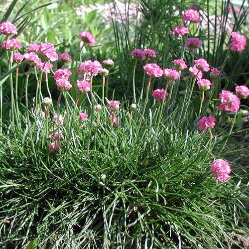 ARMERIA maritima 'Splendens' (Gazon d'Espagne) : Coussins très connus, persistants, couverts de fleurs groupées en pompons. Rocaille, bordure. Fleurs carminées.