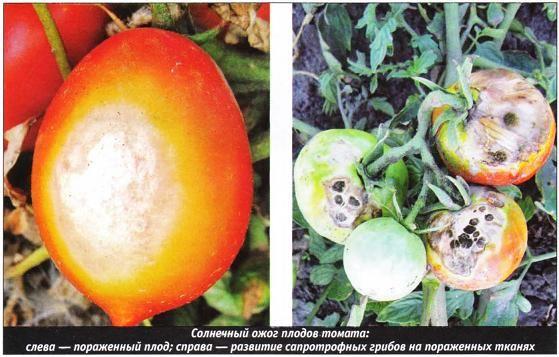 Болезни томатов: описание, методы борьбы и лечение в домашних условиях