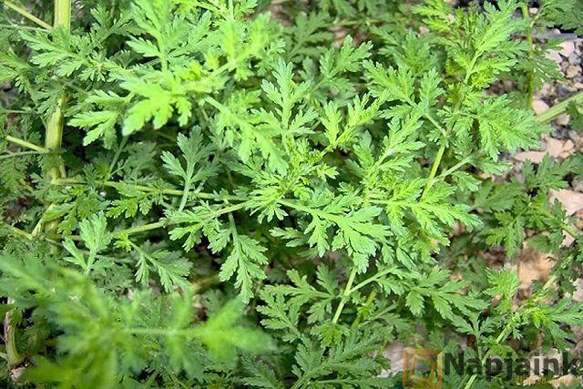Artemisia annua  a rák ellen