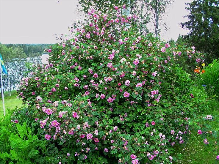 """Buskrosen """"Rosa Poppius"""" blommade väldigt vackert i år (2016)"""