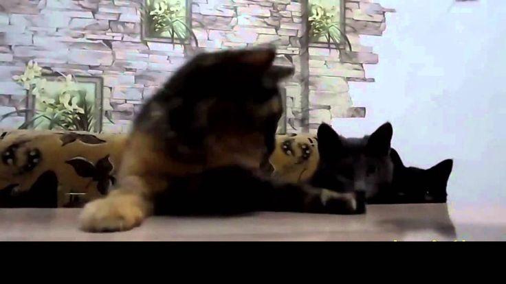 Funny Crazy Cats 2016 #34   Смешные Сумасшедшие Кошки 2016 #34