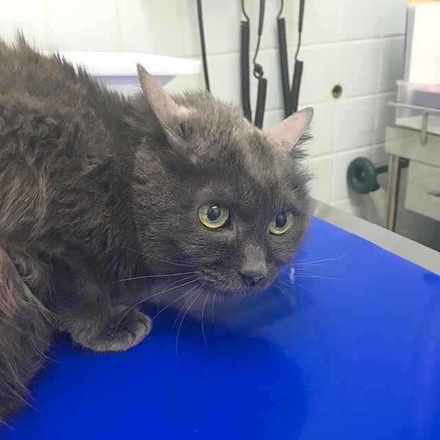 今日の苺鈴さん🍓 いつもの優しい女医さんの後に見習い君が入って来て…怯えてます🙀 大きい声を怖がるので皆さん小声でヒソヒソ話してくれます😅 #愛猫#ねこ#猫#ネコ#通院日  #自己免疫疾患#ステロイド注射 #cat#catstagram#kittycat #animalhospital