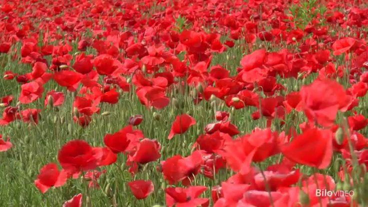 In un campo di papaveri rossi...