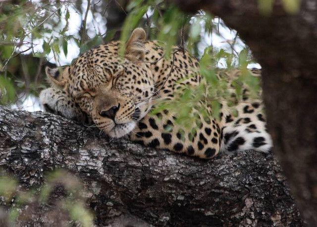 2008_10_07 Leopard Photo by Lynne Manson. Near Lower Sabi, Kruger NP