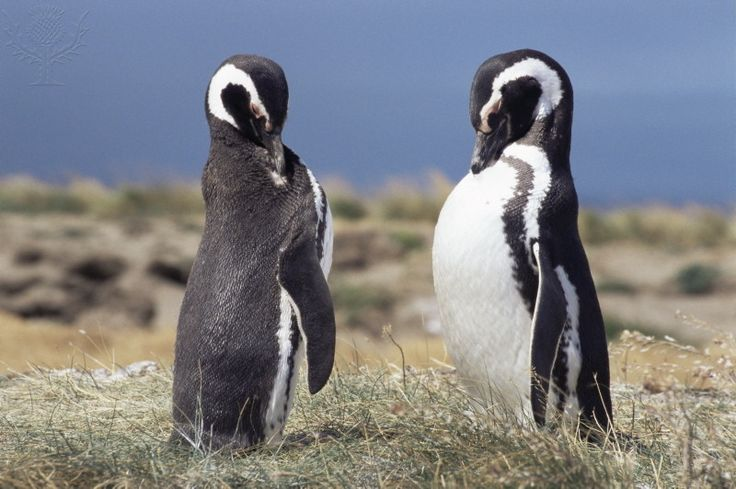 Magellan penguins, Patagonia, Chile, South America