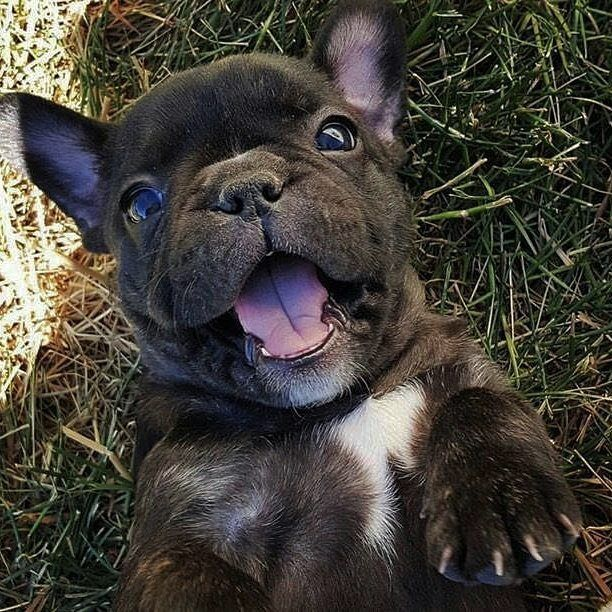 """8,183 Likes, 73 Comments - French Bulldog Love (@frenchbulldog.love) on Instagram: """"My happy face  @thesecretlifeofpeps . . . . . #frenchie #frenchieoftheday #französischebulldogge…"""""""