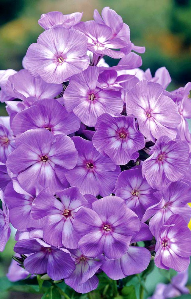 ~~Phlox 'Laura' | Thompson Morgan~~