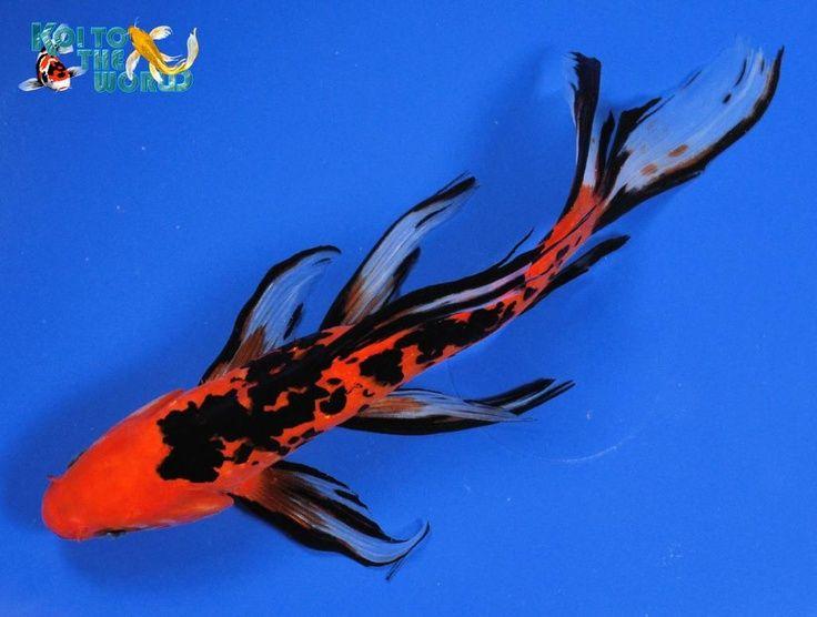 78 best ideas about shubunkin goldfish on pinterest for Goldfisch und koi