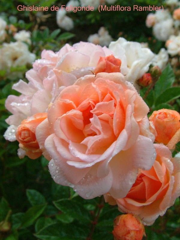 ~Old Garden Roses-CL/Ram 'Ghislaine de Feligonde'