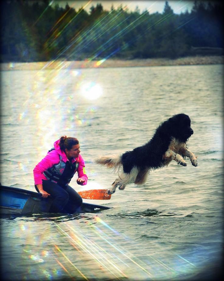newfoundland dog - water rescue
