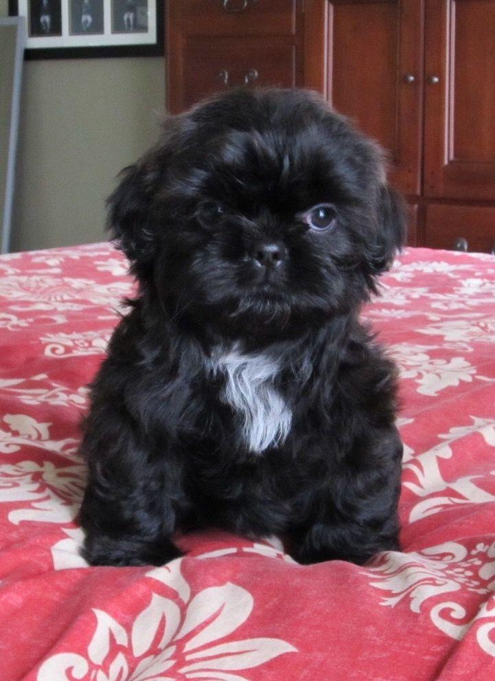 Shih tzu mix puppies for sale missouri