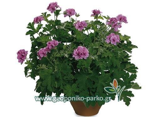 Αρωματικά φυτά - Φαρμακευτικά - Βότανα : Αρμπαρόριζα φυτό | Pelargonium odoratissimum/Citronella plant