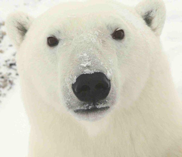 AnimalGalleries.org | Large-Land-Mammals | Bears | Polar Bear | Polar Bear arctic close face portrait