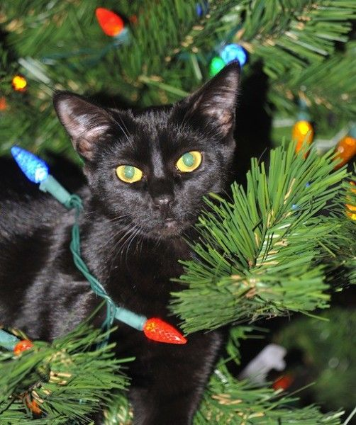 Are Christmas Trees Bad For Cats: 1000+ Images About >^..^
