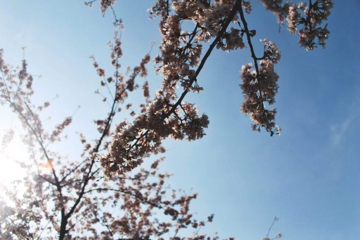 Spring in Korea: 2 Korean Cherry Blossom Sites in Jeju City