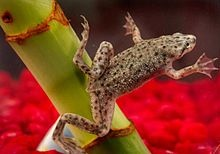 African Dwarf Frog... I love watching these little guys.