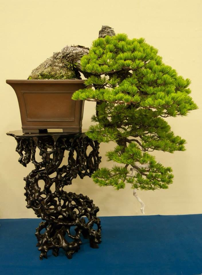 Bonsai Plants Bonsai Art Bonsai Trees Juniper