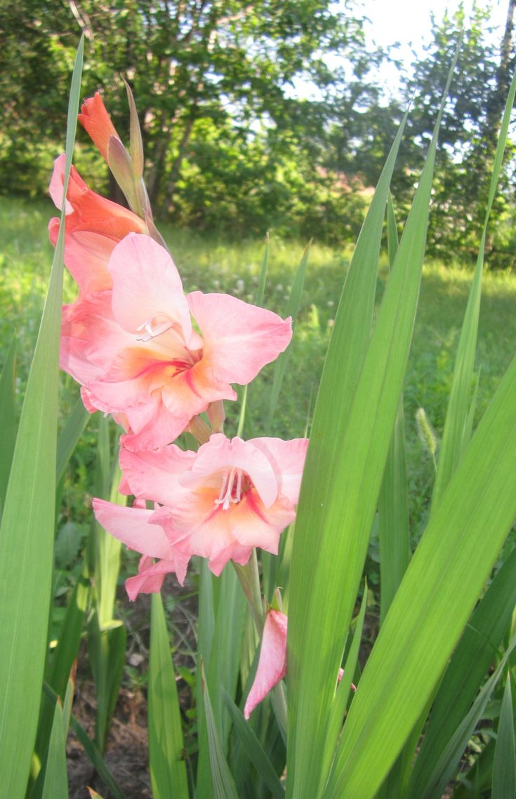 Вонзая в небо цветоносный колос, На стыке лета с осенью цветёт Красавец благородный - гладиолус, Как будто песню осени поёт. В цветенье он - ну, точно, император: С осанкой гордой озирая всех, Он в осень входит словно триумфатор На пир последних царственных утех. Он вместе с тем - цветок для созерцанья: Весь цветонос как долгой жизни путь. Он в смене отрицаньем отрицанья Нам зримо мудрости являет суть. Александр Соловьев, 13.09.06 г.