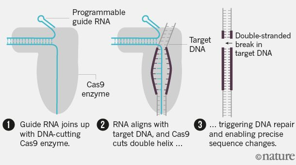 Genome-editing revolution: My whirlwind year with CRISPR : Nature News & Comment