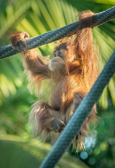 — Little Orangutan by helenehoffman