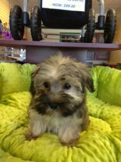 Havapoo Puppy for Sale Havanese mixed with Poodle  Hypoallergenic dog breed Very Smart, Loves to Play  Puppy Plus puppyplusinc.com