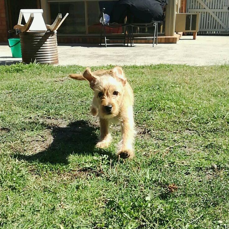 Rush (C) #dog #puppy #pet #petsitting #madpaws #pawshake #melbounre #cute #fluffy #affenpinscher #maltese
