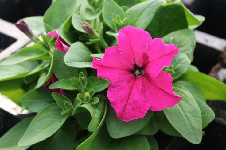 Petunia 'Limbo Rose'