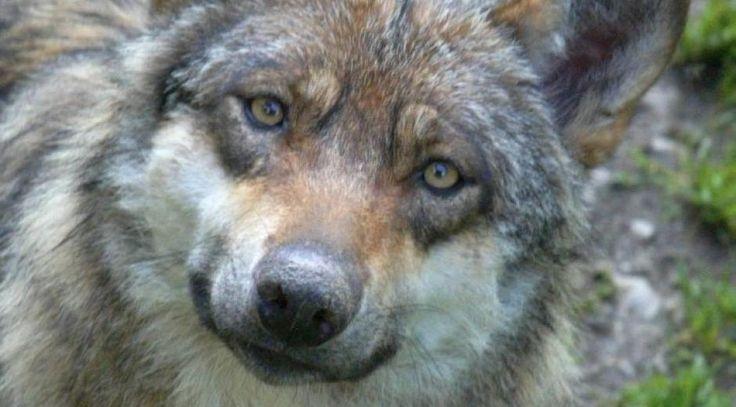 hylende ulv - Google-søgning
